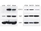 Great HuR Antibody