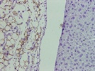 Glut-4 Detection by IHC-Paraffin