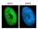 Strong Signal: Anti-Myc Immunofluorescence