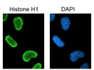 Strong Signal: Anti-Histone H1 Immunofluorescence