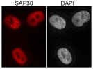 Strong Signal: Anti-SAP30 Immunofluorescence