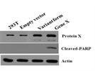 Cleaved PARP antibody