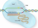 CRISPR/Cas System, Complete Solution for Targeted Genome Modification