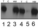 Mitochondrial marker for WB- AIF antibody
