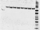 ER-alpha Antibody for Western Blot