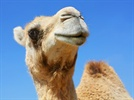 The Case for Camelid Antibodies