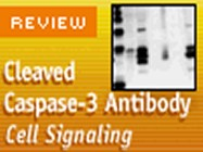 Cell Signaling Technology's Cleaved Caspase-3 (D175) Antibody