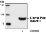 Cleaved PARP Antibody from Cell Signaling Technology, used in Western Blotting