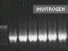 Invitrogen Platinum's Taq DNA Polymerase High Fidelity
