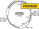 Promega's Erase-a-base System