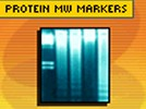 Molecular Weight Markers For Protein Gel Electrophoresis