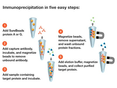 Surebeads Magnetic Beads System From Bio Rad Biocompare Com
