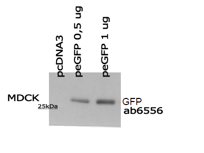 GFP Detection by WB