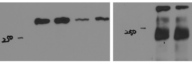 Novus 53BP1 antibody NB100-304