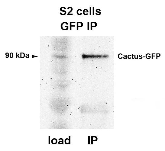 Immunoprecipitation of GFP-fusion protein