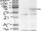 Western blot antibody for PTEN from R&D systems