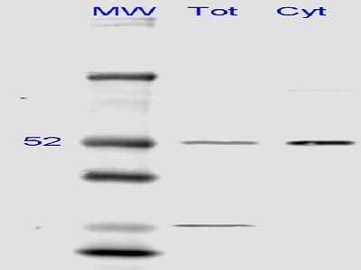 Identifies alpha Tubulin in Western Blots