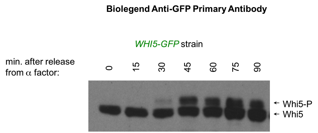 Good Antibody for Detecting GFP