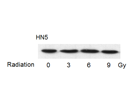 p53 Antibody from Cell Signaling Technology