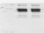 A Cheap Primary Antibody With OK Protein Recognization