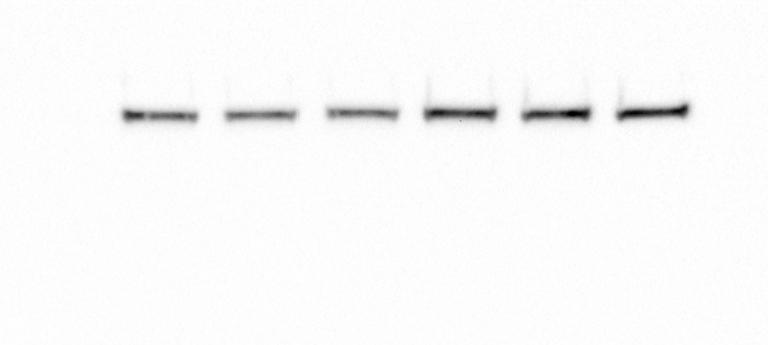 Perfect Total AKT Antibody