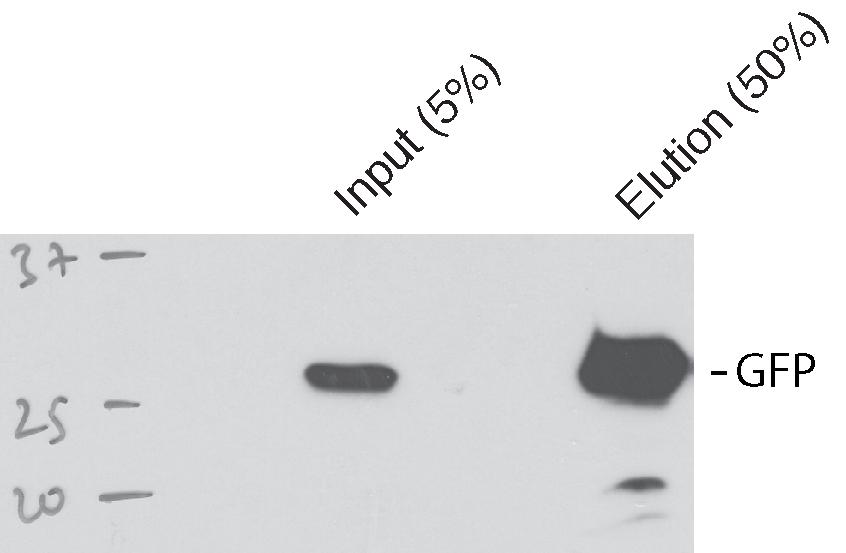 GFP Antibody for Immunoprecipitation