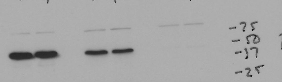 Good p53 Antibody