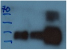 Highly Specific Antibody For Hygromycin Resistance