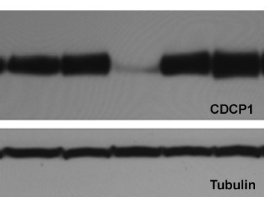 Anti-Tubulin mouse mAb #627901 from Biolegend
