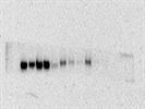 Good PLK1 (208G4) Rabbit mAb