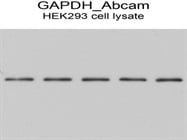GAPDH Antibody For Western Blotting From Abcam