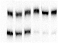Good HLA-E Antibody