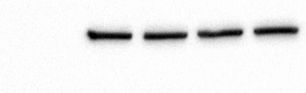 Perfect Tubulin Antibody