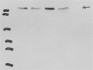Good Quality FLT-4 Antibody Antibody From Santa Cruz Biotechnology