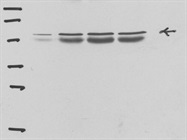 Good Quality Phospho-MST1 (Thr183)/MST2 Antibody