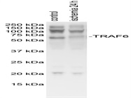 Anti-TRAF6 Antibody (Sc-8409)