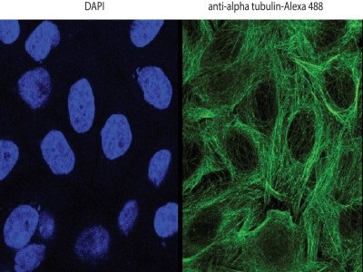 Good Anti-Alpha Tubulin Antibody