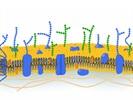 Advances Propel Glycomics Forward