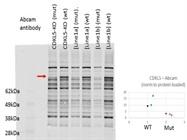 Anti-CDKL5 Antibody