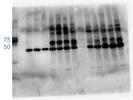 E2F3 Antibody