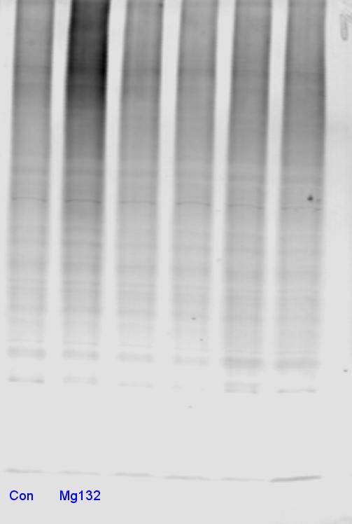 Pan Ubiquitin Antibody (For Western Blot)