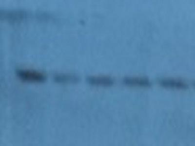 Excellent Antibody