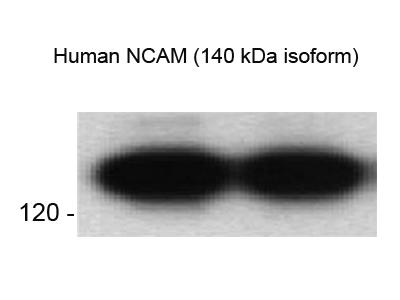 Good Antibody To Detect Human NCAM