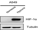 Great Antibody for HIF-1a Western Blot