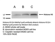 Histone H3K4me3 Antibody for Western Blot
