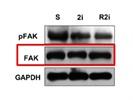 FAK Antibody (Replaced Product)