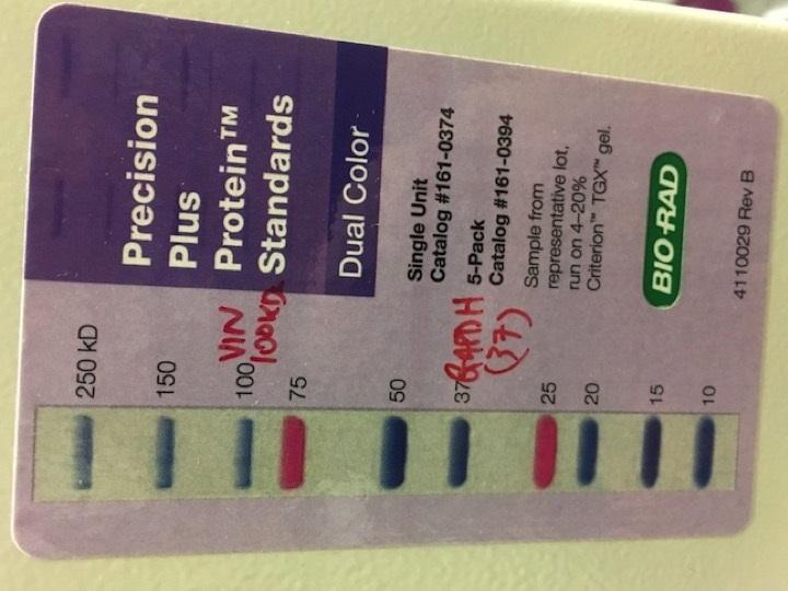 Learn These Bio Rad Precision Plus Protein Dual Color Standards