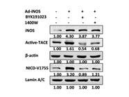 Mouse Monoclonal Anti-NOS2/iNOS Antibody