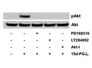 LY 294002 Inhibits 15d-PGJ2-Induced Akt Phosphorylation
