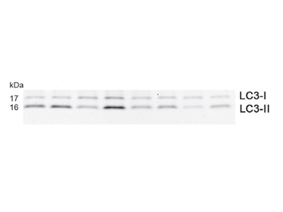 Nicely Working LC3 I/II Antibody from Sigma